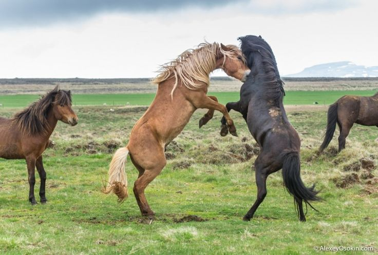 Исландская лошадь