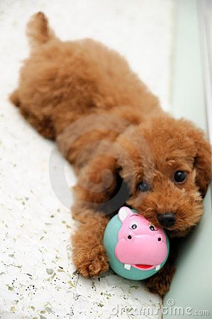 Toy Poodle .. I need you