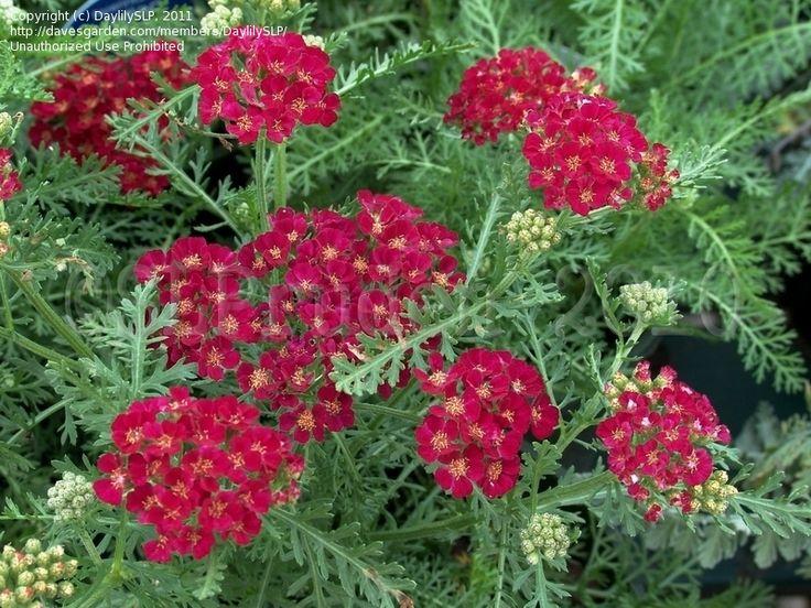 Yarrow Pomegranate Achillea Millefolium Garden Shed