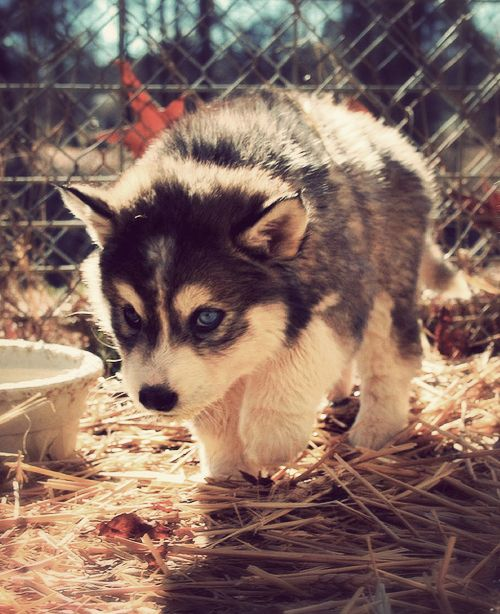 Pomsky- I really thought this was a wolf, and every time I look at all I see is something coming to attack me...with its adorable-ness.