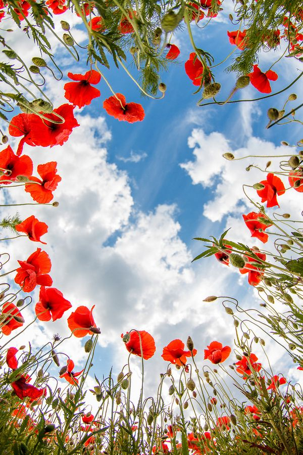 ♥ Marco SchmidtSpring Flower, Point Of View, Blue Sky, Fields Flower, Red Poppies, Flower Gardens, Flower Fields, Flower Guide, Poppies Field