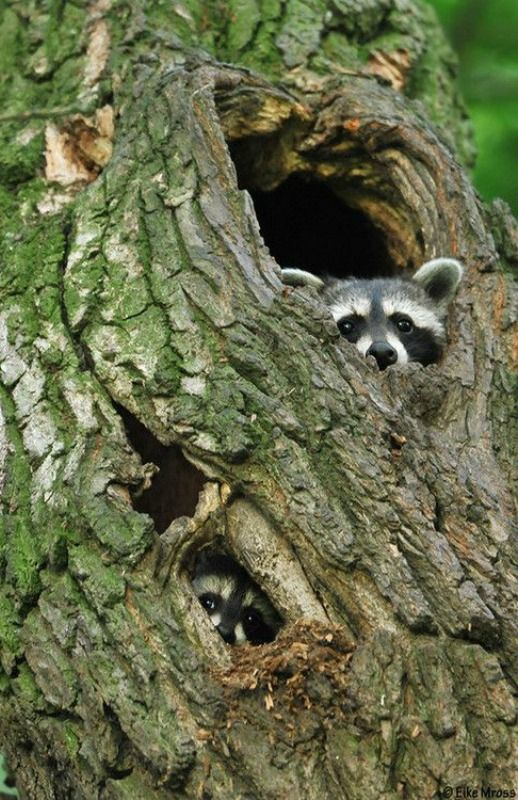 animals raccoons weasels friends - photo #36