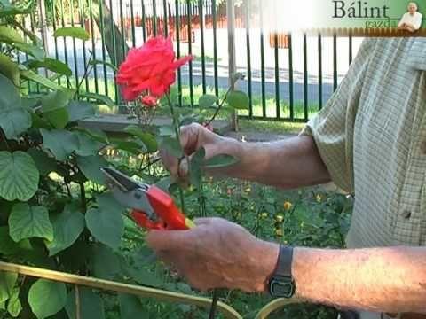 Fiskars tippek: rózsa nyári metszése - YouTube