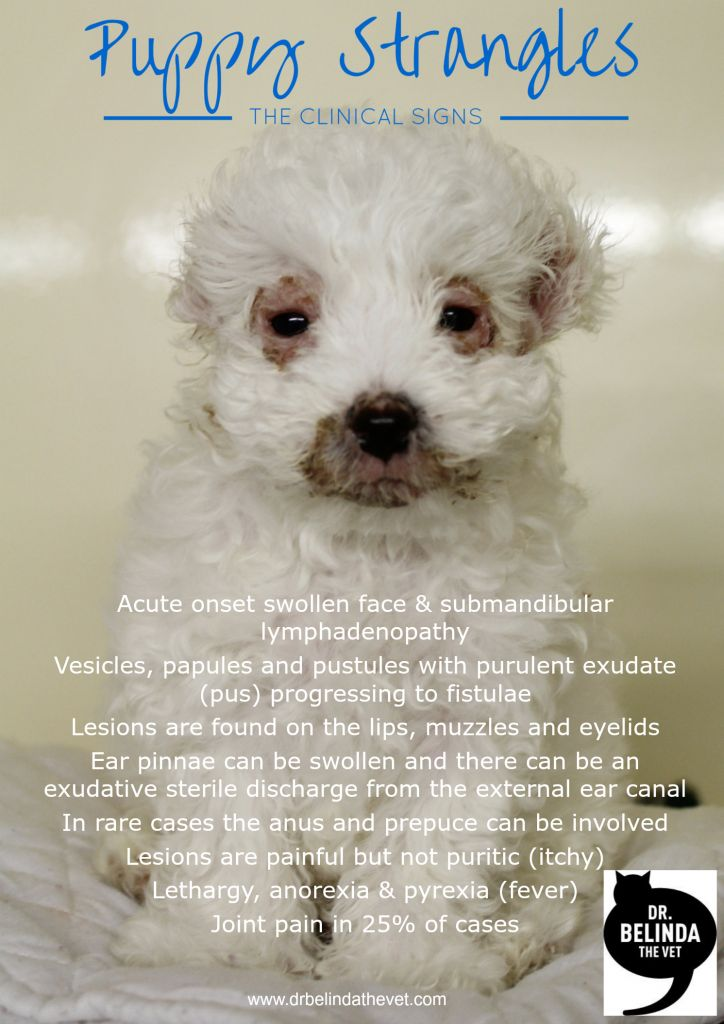 The Clinical Signs of Puppy Strangles - read about this life threatening condition in puppies.