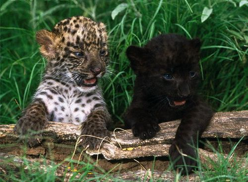 Baby panther cubs - photo#33