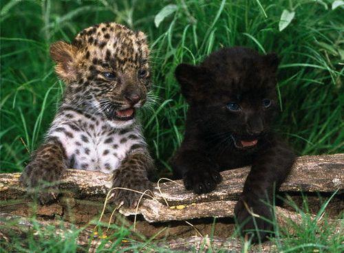 ... cub black panther cub cub leopard panther black panther big cat