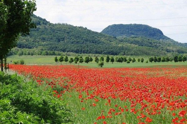poppy fields in Hungary...beautiful, would love to go there