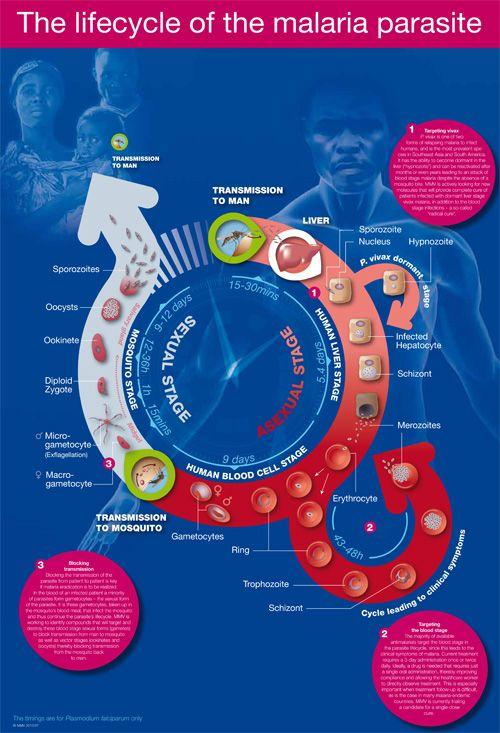 Parasite lifecycle | MMV