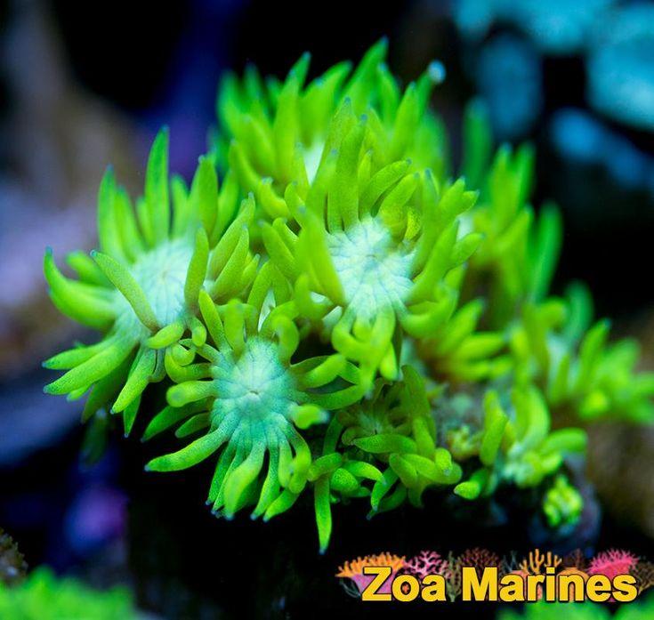 Medium/Long Stemmed Goniopora 'Lemon and Lime' 1 Inch Extended. Stunning Corals! http://www.zoamarines.co.uk   #saltwatertank #marinetank #corals #frags #frag #reeftank #saltwateraquarium #zoa #coral #zoanthid #marine #coralfrag #marineaquarium #reefkeeping