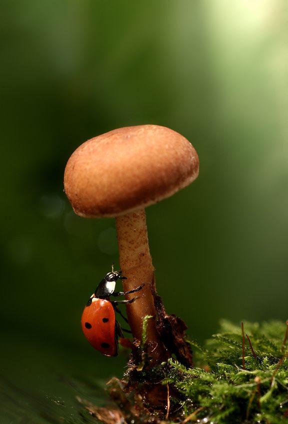 *ladybug climbing a mushroom: Mushroom, Luvlee Ladybugs, Ladybugs O, Call Ladybugs Miss, Luvly Ladybugs, Ladybug Climbing, Ladybug Mushroom, Mushrooms