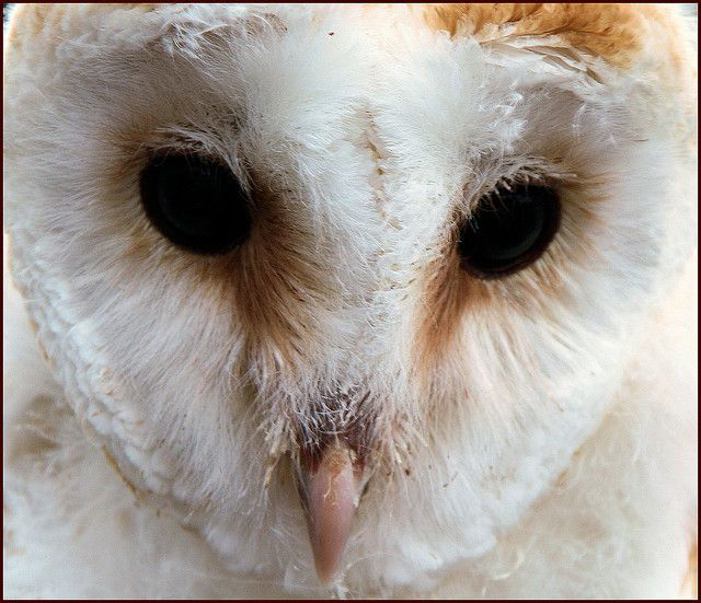 Baby Barn Owl by Dysartian:   The Barn Owl does not hoot (such calls are made by typical owls, like the Tawny Owl or other Strix), but instead produces a characteristic shree scream, ear-shattering at close range. Nestlings are covered in white down all over, but the characteristic heart-shaped facial disk is visible soon after hatching.  http://en.wikipedia.org/wiki/Barn_Owl #Barn_Owl