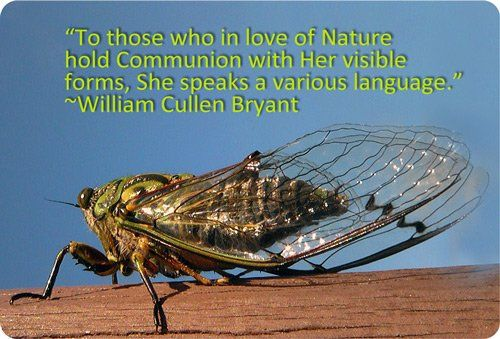 Symbolic Cicada Meaning (image by SidPix on Flickr)