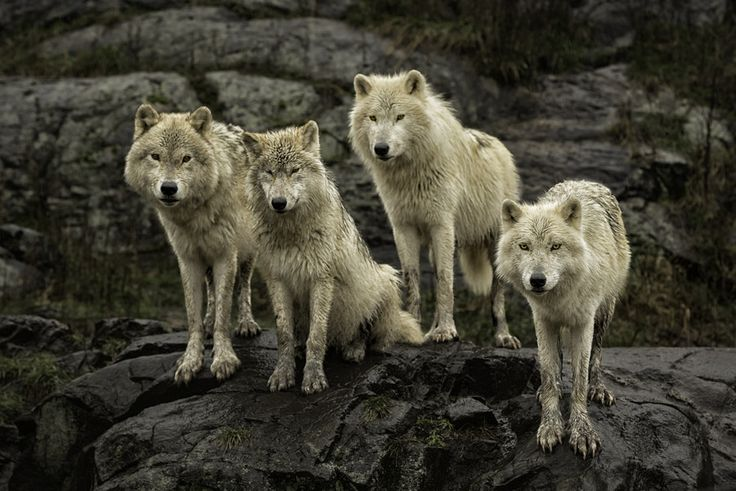 """Gathering in the rain"" - Arctic Wolf by Daniel Parent on 500px"