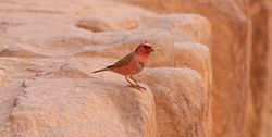 El camachuelo del Sinaí2 o carpodaco del Sinaí (Carpodacus synoicus) es una especie de ave paseriforme perteneciente a la familia Fringillidae. Se distribuye por Afganistán, China, Egipto, Israel, Palestina, Jordania y Arabia Saudí.1 Es el pájaro nacional de Jordania[cita requerida] y su hábitat natural son los desiertos.