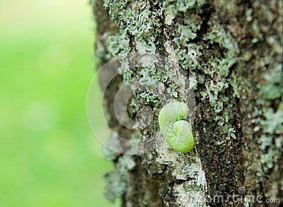 Green caterpillar on a birch bark