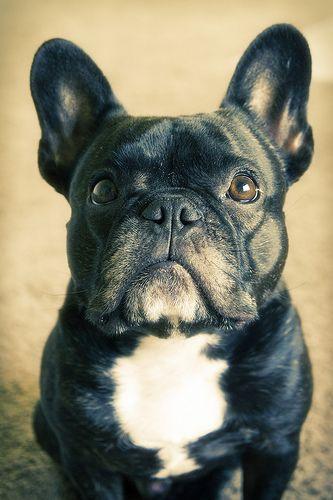 90041519bd5dc Handsome   French bulldog   Pinterest   Francês, Cão e Buldogues franceses