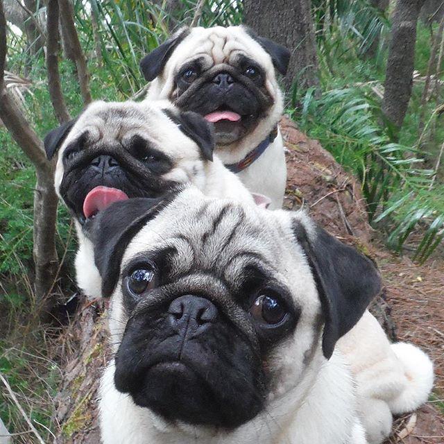 Pugs Life Pug Baby Pugs Pugs Funny Cute Pug Puppies