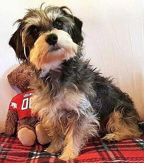 Boston, MA - Standard Schnauzer Mix. Meet Jeremy Sprinkle, a dog for adoption. http://www.adoptapet.com/pet/19230320-boston-massachusetts-standard-schnauzer-mix