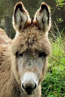 "This cute fuzzy donkey is called a ""Wooly Paramo"" donkey. It's lives in Equador. A male is called an ass. A female is a ""Jenny or Jennet"" and a baby is called a foal."