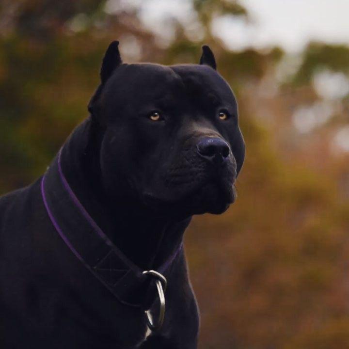 Perros Gigantes, Perros Negros, Perros
