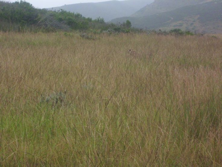 Spot the cheetah; nature is amazing