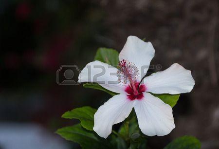 Flor blanca y Hibiscus rosa con estambre y pistilo detallada en un jardín hawaiano en primavera