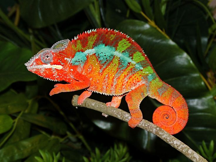 Kestahn is one of our Red Body Blue Bar Ambilobe Panther Chameleon Breeders. He has exceptional red throughout his body with blue barring.