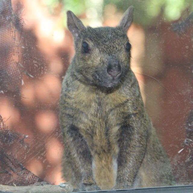 Brown Squirrel - eating window screen