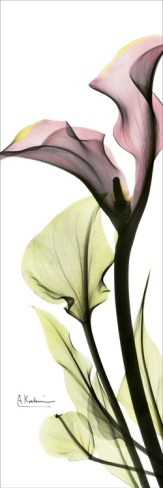 Calla Lily in Color Print by Albert Koetsier at Art.com $17.99