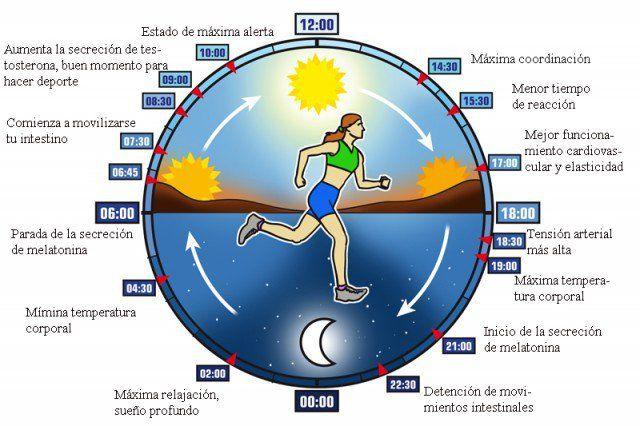 Cada ser humano cuenta con un reloj biológico interno que reside en el cerebro y recibe el nombre de núcleo supraquiasmático, este reloj es el responsable de mantener el orden en lo que a ritmos de alerta, temperatura y producción hormonal se refiere, provocando los famosos cicloscircadianos (d