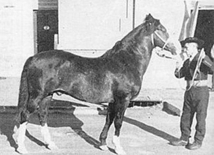 Chilean horse purebred- Caballo Chileno de pura raza record since 1893. Potro Ñipan