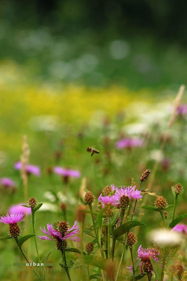 Rodinné Včelařství Urban Valašsko, včely, med: Letní zdroje medu... ?