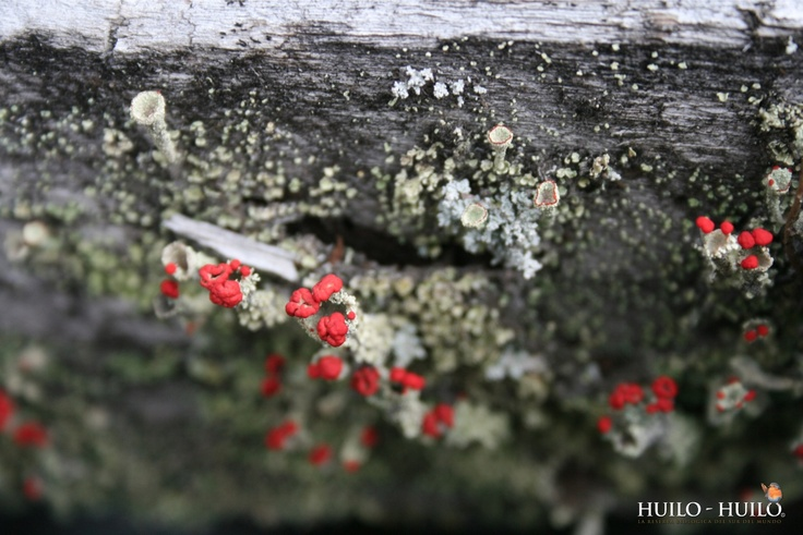 Flora Huilo Huilo