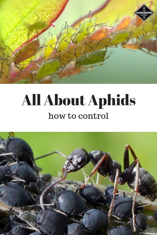 All About Aphids And How To Control Them Garden Pests Garden