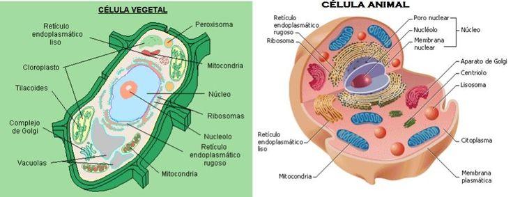 Resultado de imagen para la célula vegetal y la célula animal