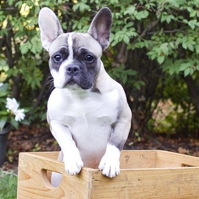 walter french bulldog omg looks a lot like my lulu frenchies pinterest 3752