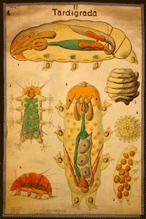 4D Microscopy of tardigrade embryos - Andreas Hejnol