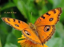 Image result for butterflies of india