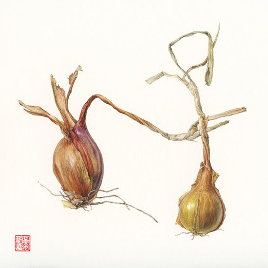 <strong>Shallot</strong> - <small><em>Allium cepa </em> var. aggregatum    12 x 12</small>    watercolor on paper