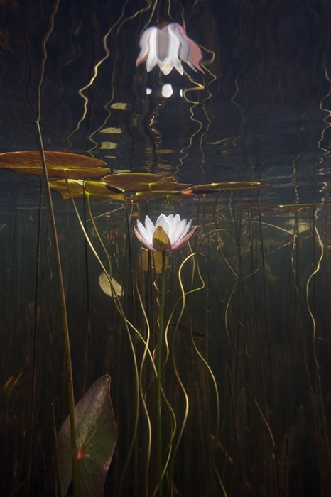 "Entry Title: "" underwaterlilies""  Name: William Scully, United States   Category: Non-Professional, Underwater      Entry Description: This is an underwater series of water lilies shot in a kettle pond on Cape Cod with a digital SLR encased in a plexiglass housing."