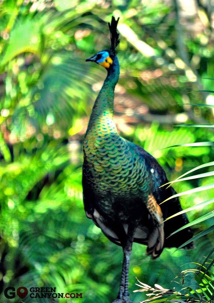 Burung Merak Hijau di Taman Wisata Alam Pangandaran