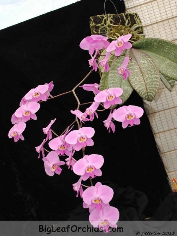 Phalaenopsis Schilleriana Pink Butterfly | this picture is comparing to phalaenopsis schilleriana pink butterfly ...