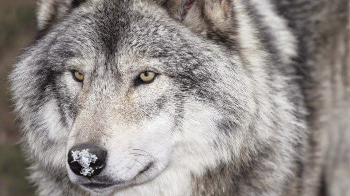 White Wolf : 22 Fascinating Facts About Wolves