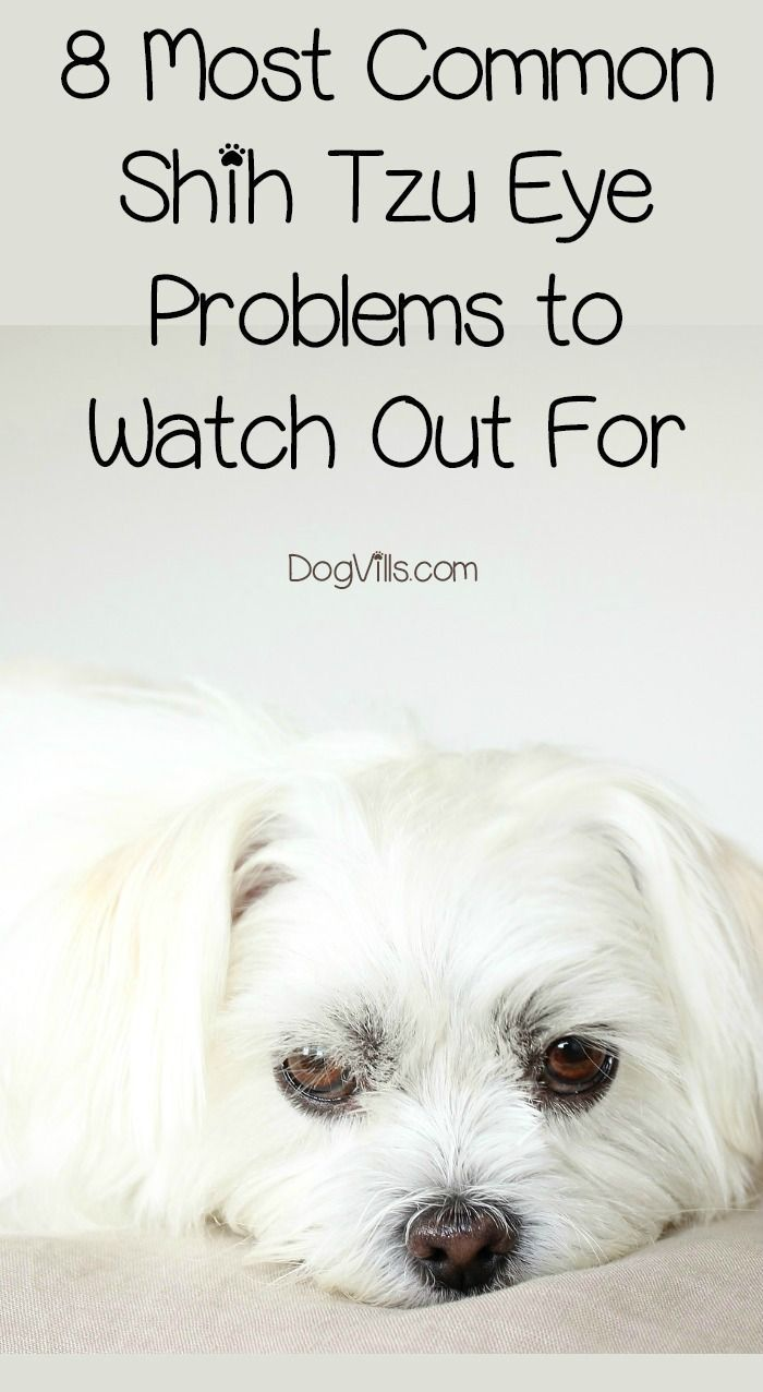 8 Most Common Shih Tzu Eye Problems To Watch Out For Eyes