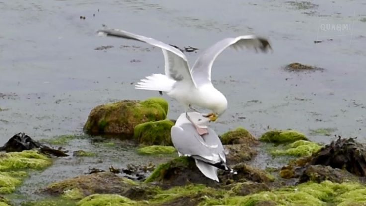 European Herring Gulls (Seagulls) Fighting