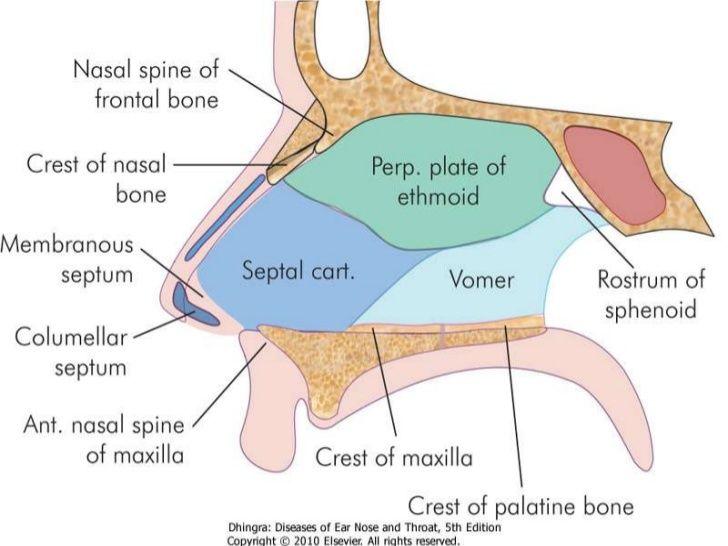 Anatomy nasal septum