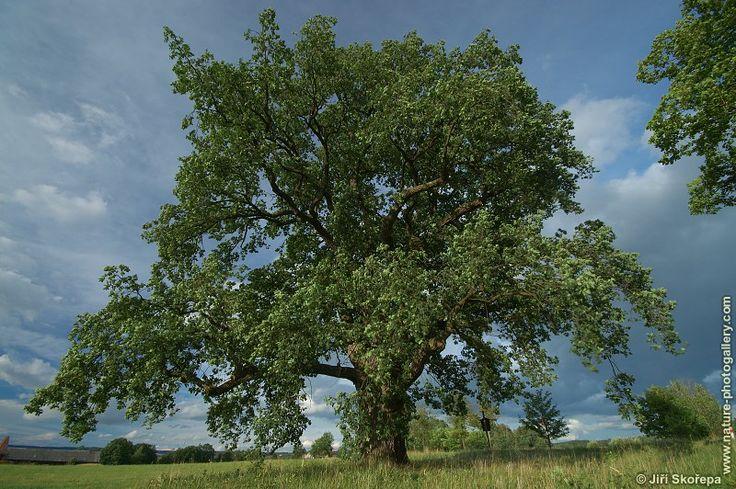 Název: Dub letní Latin. název: Quercus robur Čeleď: bukovité Latin. čeleď: Fagaceae