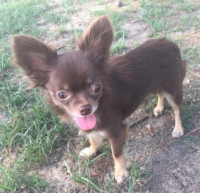 Lost Dog Ramsey Chihuahua Long Haired Female Medical Date Lost 04 28 2019 Dog S Name Chiquita Chi Chi Breed Of Dog Chihuahu Losing A Dog Dog Ages Dogs