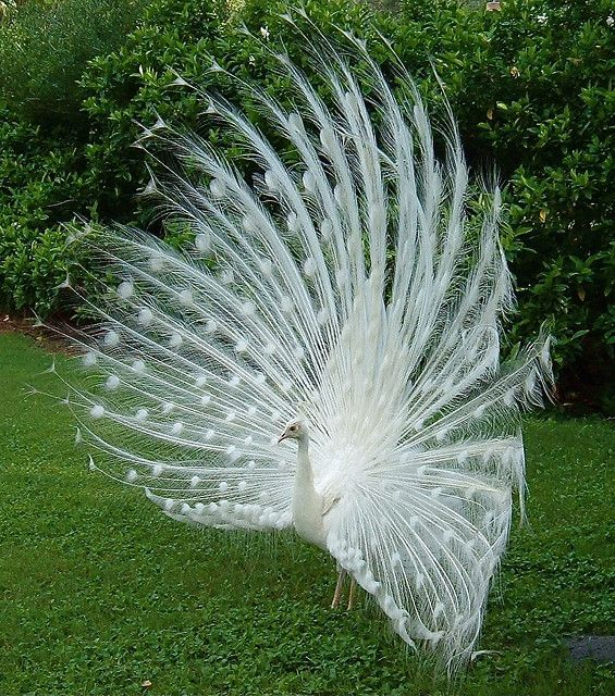 White peacocks are not albinos; they have a genetic mutation that is known as leucism, which causes the lack of pigments in the plumage. Albino mammals and birds have a complete lack of color and red or pink eyes while White peafowl have blue eyes. The white color appears in other domestically bred peafowl but in different quantities. Chicks are born yellow and become white as they mature.