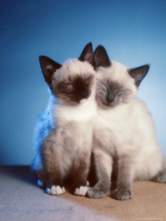 i'll take a siamese kitten too.. Reminds me of Tinkerbell and Smokey!!